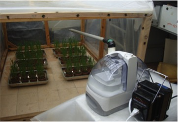 Fig. 13: Stem rust inoculated seedlings placed in the dew chamber for incubation.